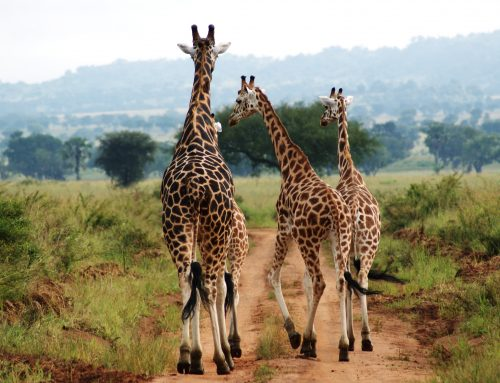 10 Days wildlife safari Uganda/10 days Uganda wildlife tour