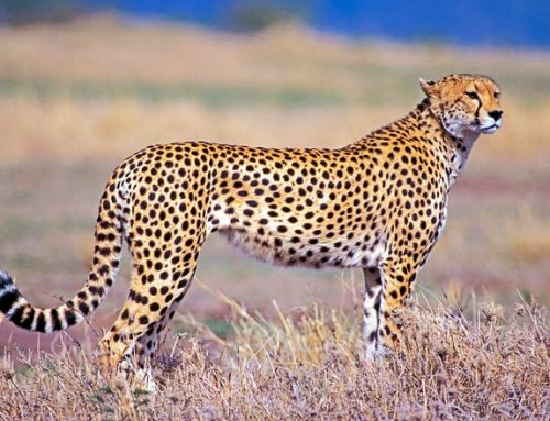 The cheetah in Kidepo Valley National Park Uganda