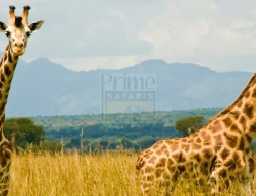 Enjoy The Best Experiential Uganda Wildlife Safari in Kidepo; the True African Wilderness