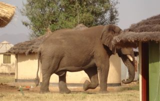 Meet Bull Bull; Kidepo's Oldest Elephant-Uganda Safari News