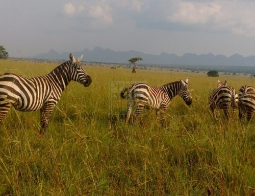 Where to See Zebras in Uganda – Uganda Safari News