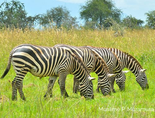 Origin of the Burchell Zebras; The Beauty of Kidepo Valley National Park