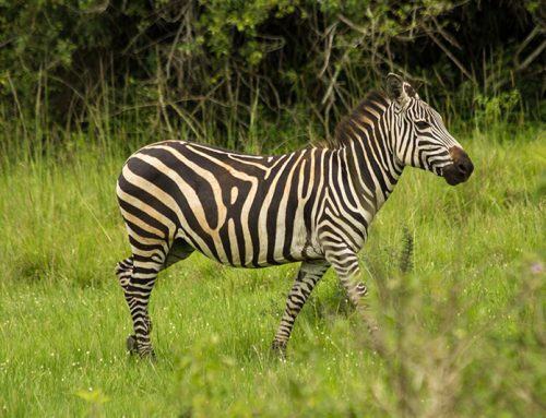 The Beauty & Mystery Of Zebras In Kidepo Valley National Park – Uganda Safari News