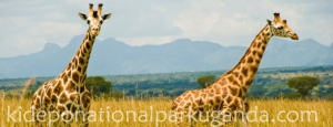 Rothschild Giraffes in Kidepo Valley National Park – Uganda Safari News
