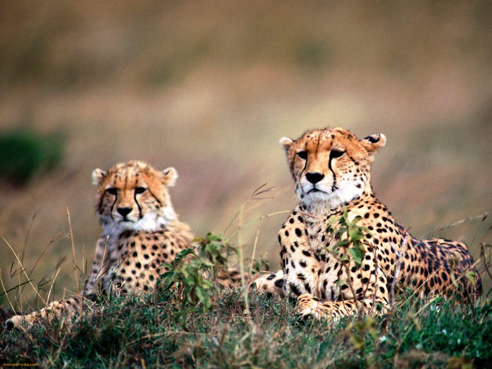 Cheetahs in Kidepo valley national park