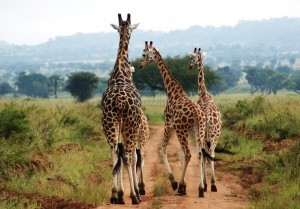 The giraffes in Kidepo
