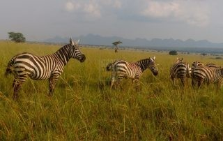 Where to Find Zebras in Uganda – Uganda Safari News